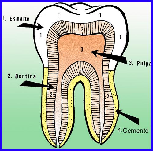 composición interna de los dientes