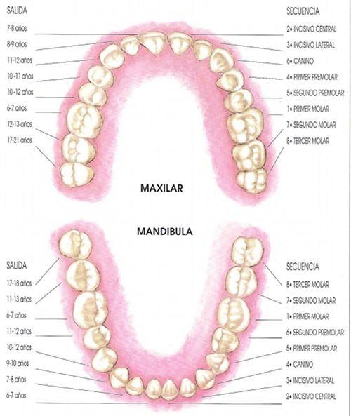 erupción de los dientes