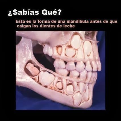 mandíbula antes de caer los dientes de leche