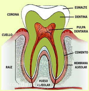pulpa dental o nervio del diente