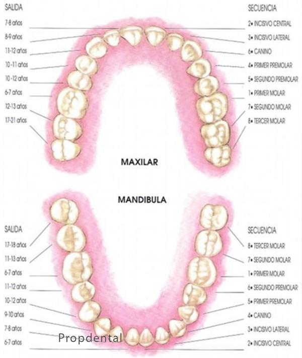 Cronología erupción dientes permanentes