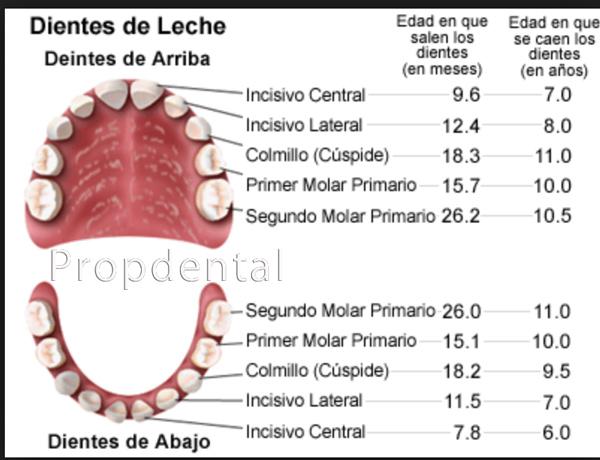 cronología de erupción de dientes temporales