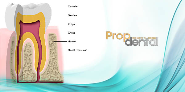 Anatomía dental y la oclusión de los dientes