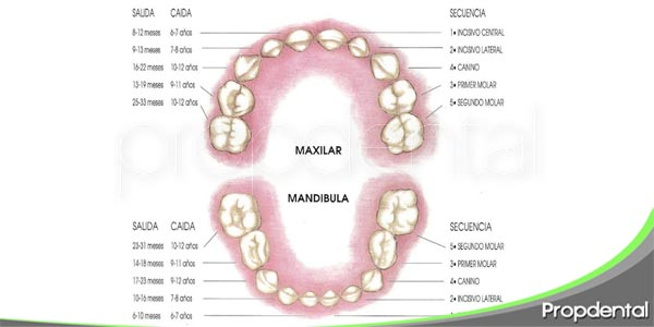 moroflogía de la dentición primaria