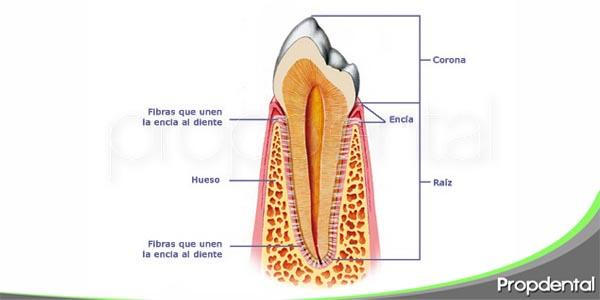 anatomía del periodonto