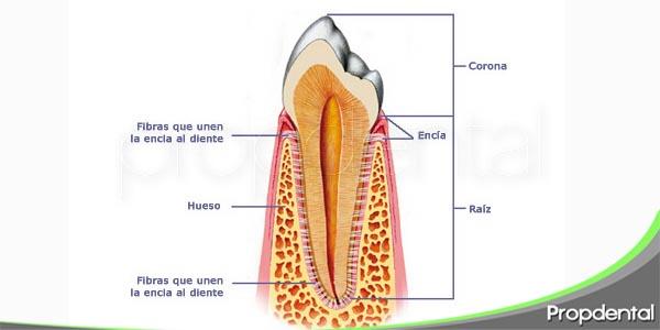 partes del periodonto
