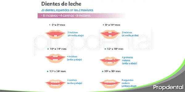 la cronología dental del bebé