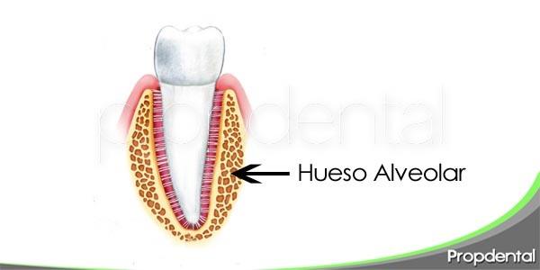 el hueso alveolar