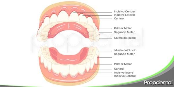 tipos de piezas dentales